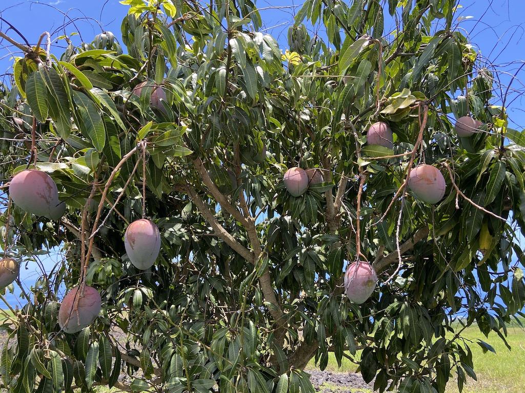 Keitt Mango tree Big Island Horizon BnB