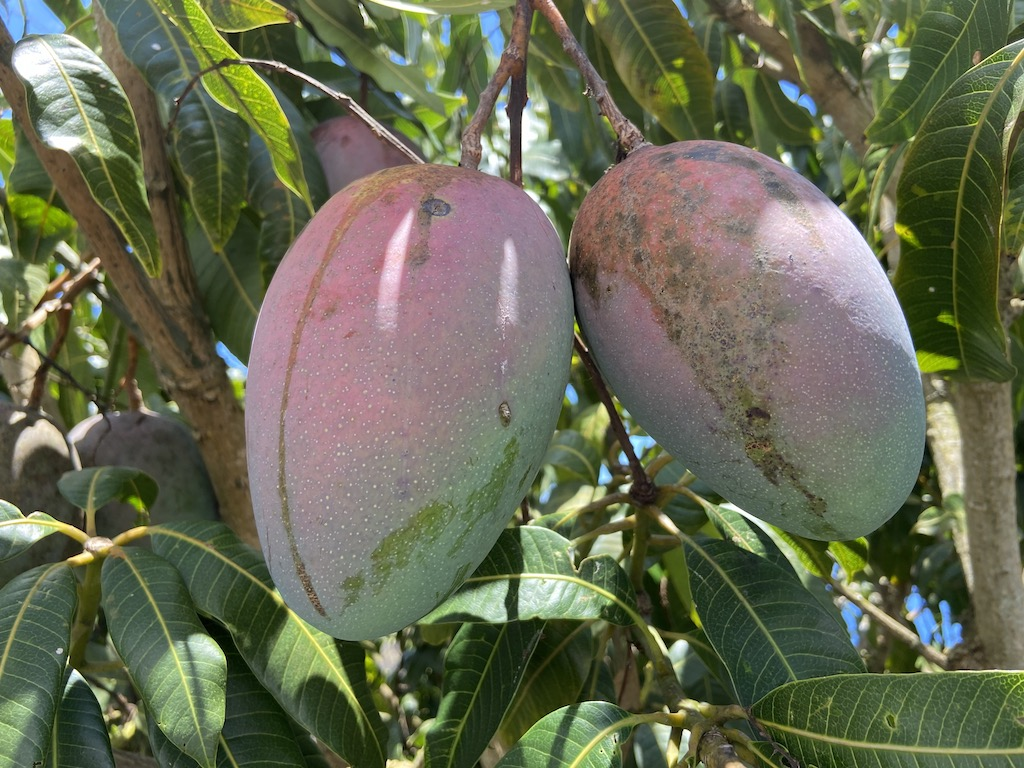 Keitt mangos Big Island Hawaii Horizon B&B