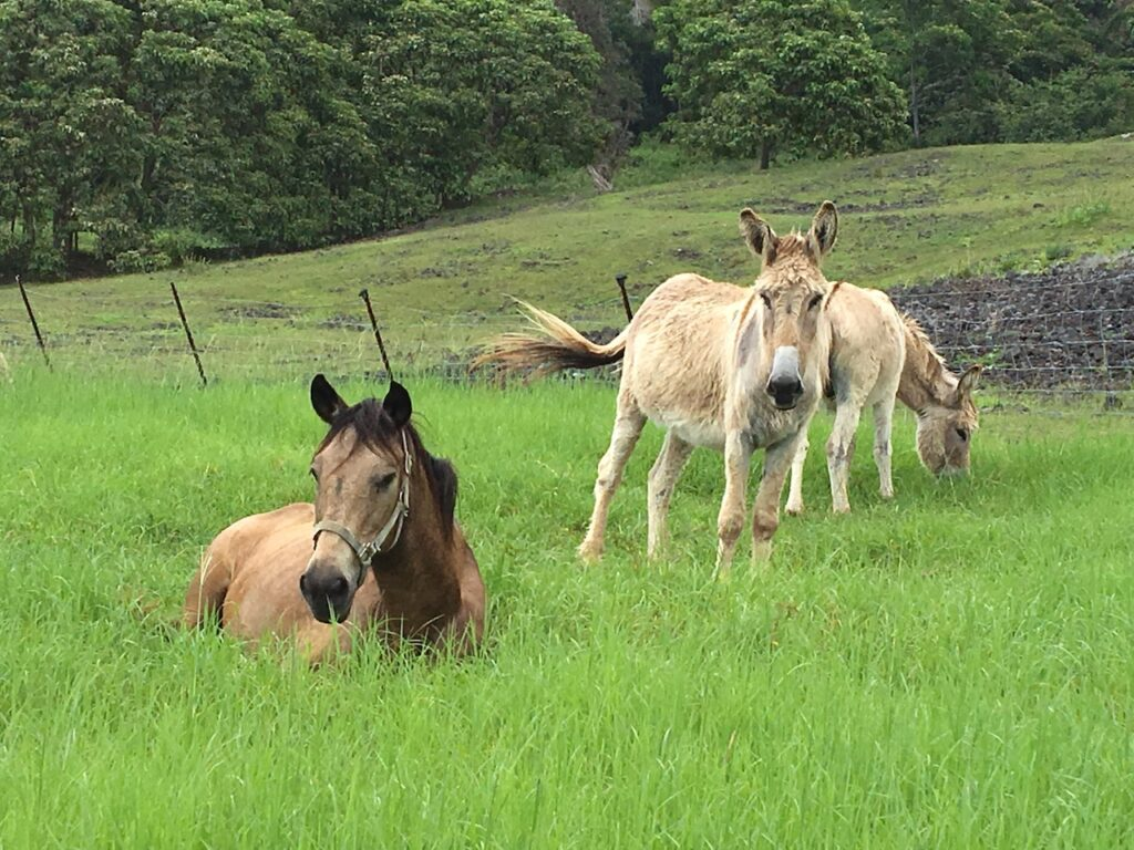 Donkey Big Island Hawaii Horizon BnB