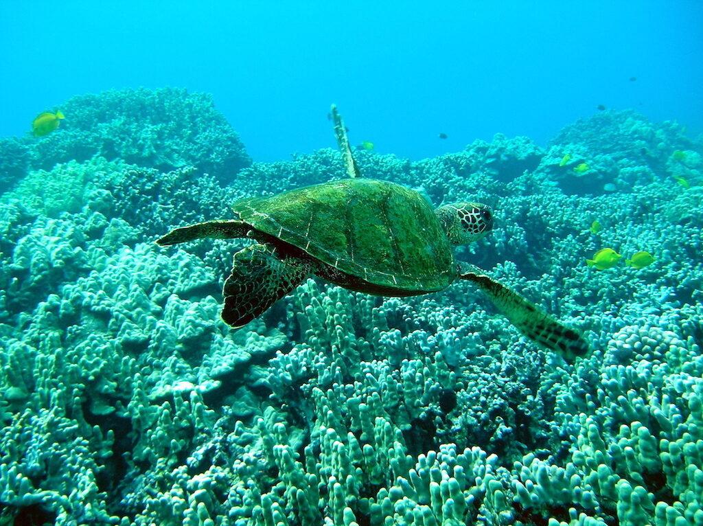 Green Turtle Honaunau Big Island Horizon BnB