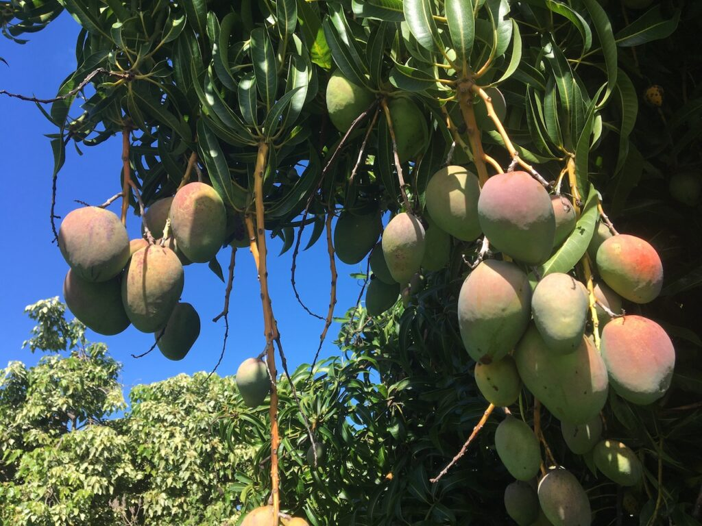 Summer fruit on the Big Island: from the garden to the breakfast table!