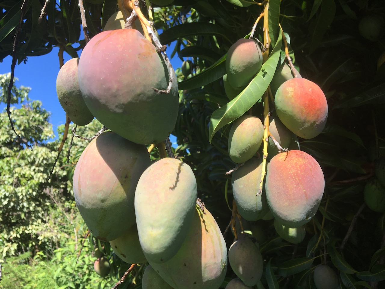 Mango tree Big Island Hawaii