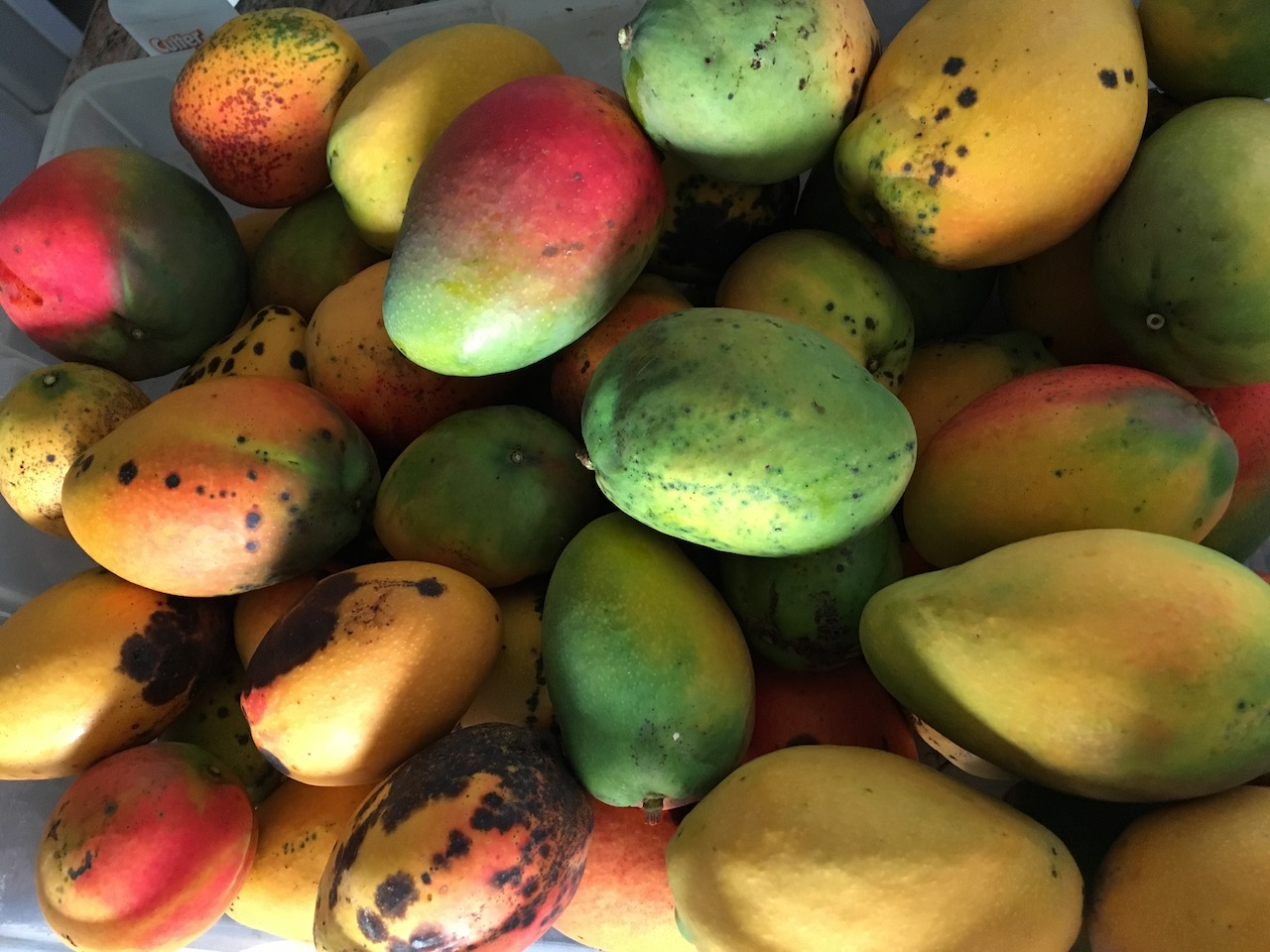 Mangoes Big Island Hawaii