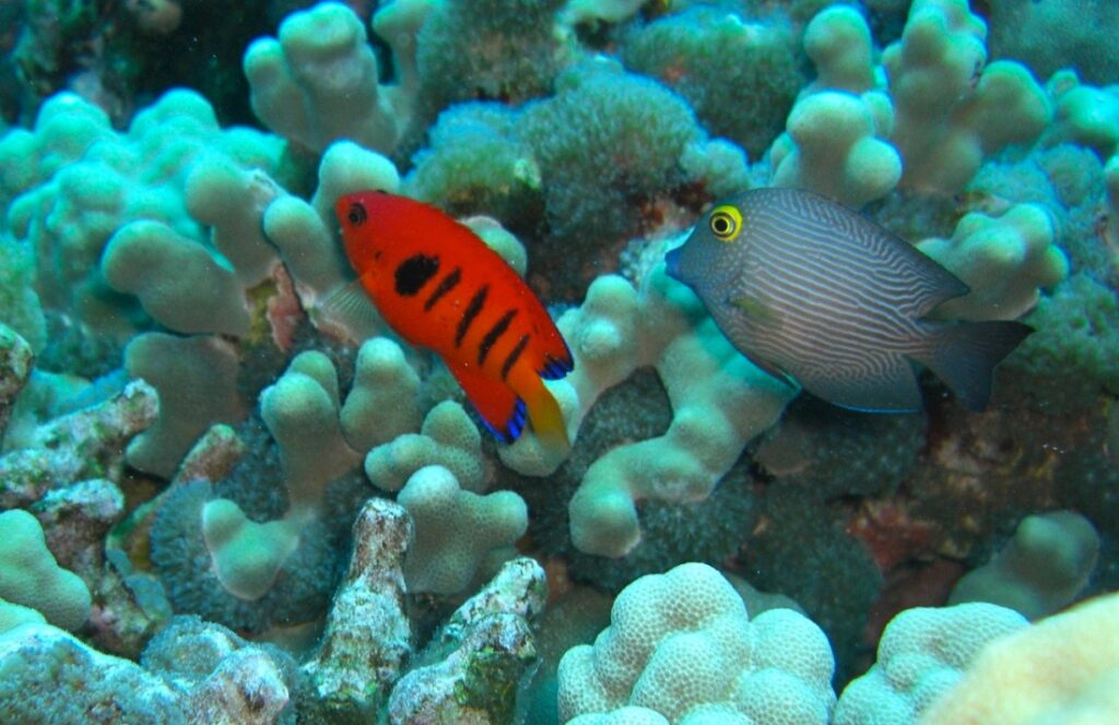 Flame angelfish Kona Hawaii