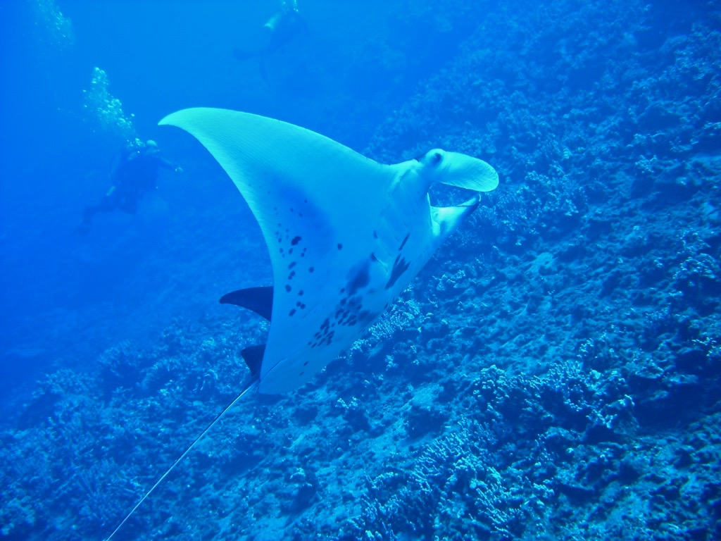 Manta Ray Night Diving Kona B&B Horizon
