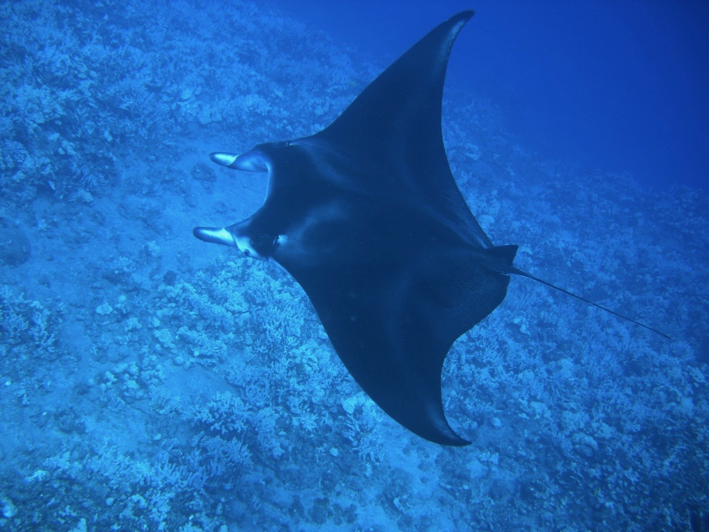 Manta Ray Kona Hawaii Big Island Horizon B&B
