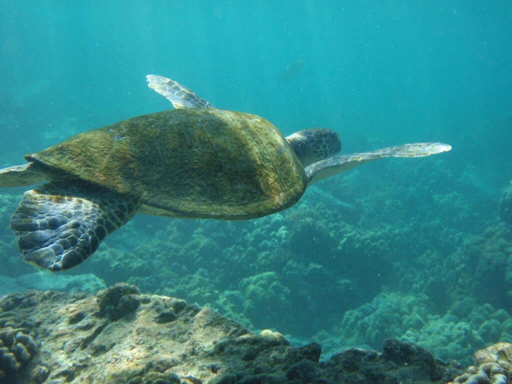 Sea turtle Kona Hawaii Big Island