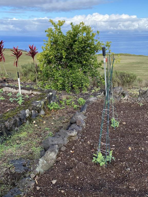 Peas trellis 13:5 Horizon Guest House Big Island