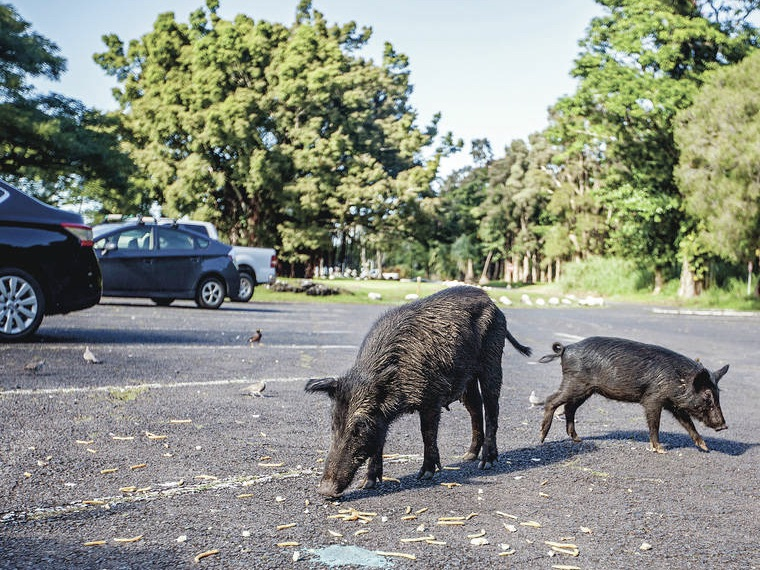 Wild Pigs Hawaii Tribune Herald 2020