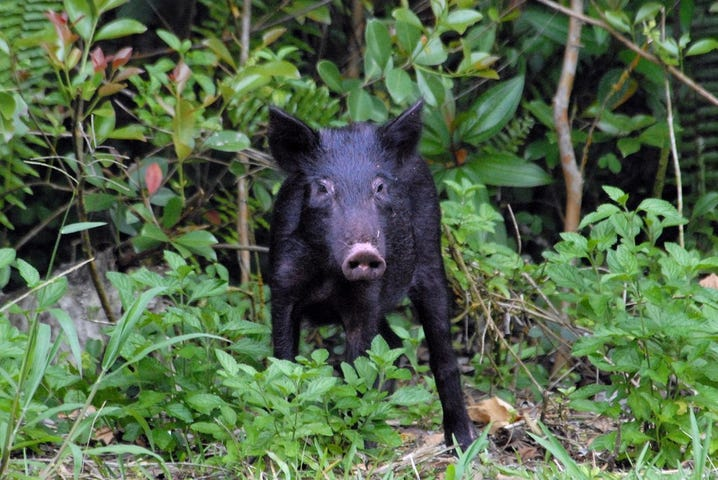 Wild Pig Big Island Hawaii KITV4 Island News