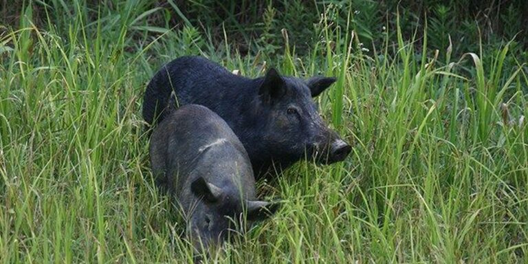 Wild Pigs Hawaii News Now