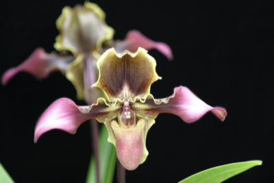 Volcano Queen Orchid