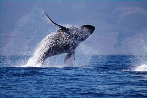 2 Humpback Whale