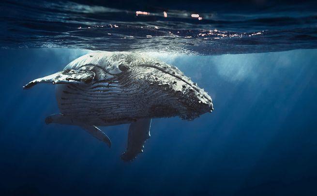 6 Humpback Whale