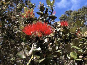 Ohia Lehua tree