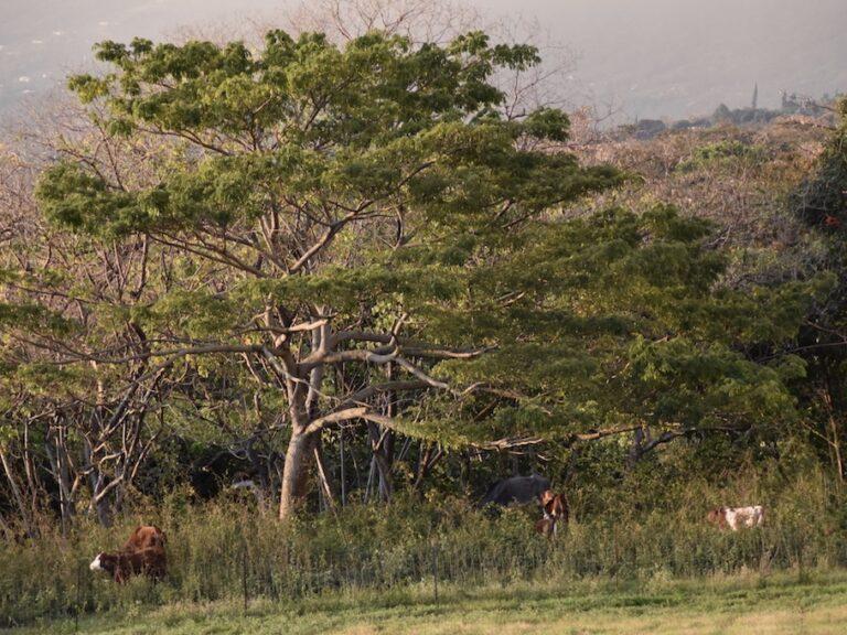The Big Island's wild cattle secret