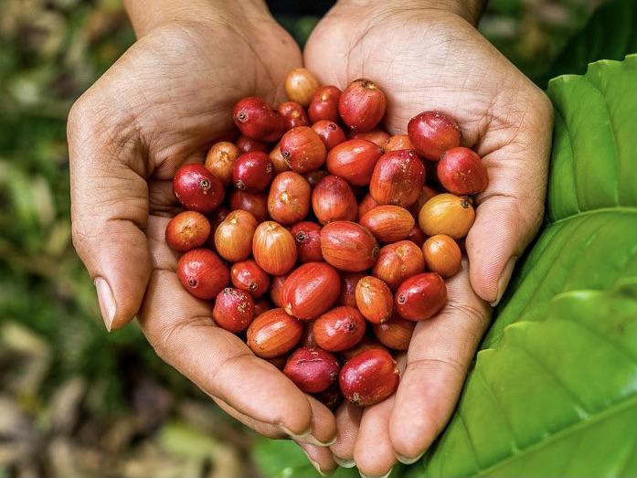 Top 3 coffee farm tours on the Kona Coast